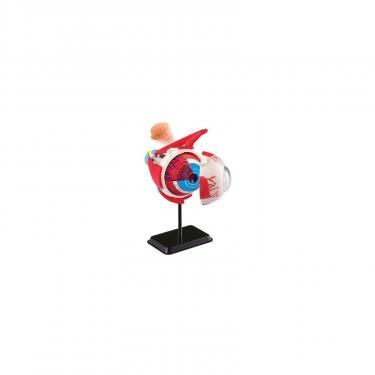 Набор для экспериментов EDU-Toys Модель глазного яблока сборная,14 см Фото 1