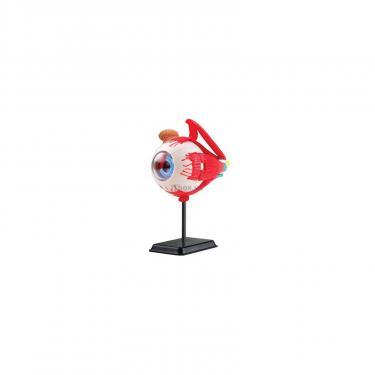 Набор для экспериментов EDU-Toys Модель глазного яблока сборная,14 см Фото